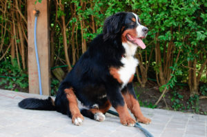 What is the average lifespan of a Bernese Mountain Dog