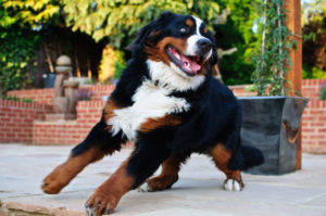 Bernese Mountain Dog Appearance