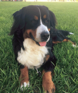 What Is the Origin of the Bernese Mountain Dog