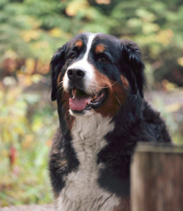 Bernese Mountain Dog Ear Infections