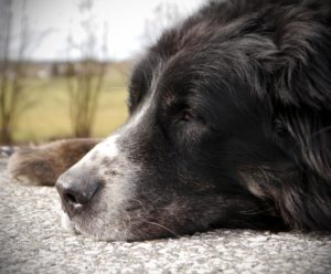 How To Calm Down A Hyper Bernese Mountain Dog Bernese