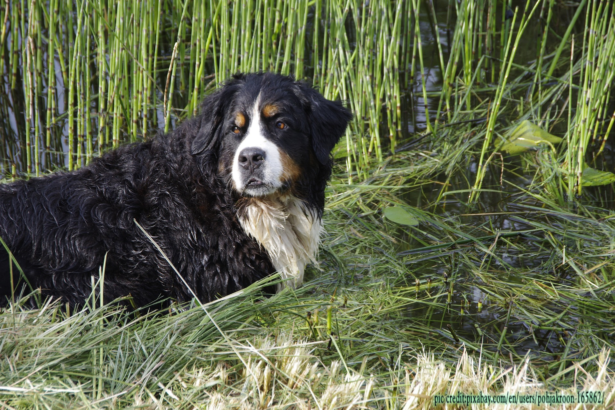 Does Bernese Mountain Dog shed a lot?