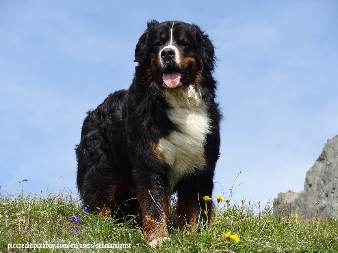 What colors are Bernese Mountain Dog?