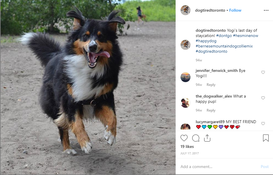 Bernese Mountain Dog Corgi Mix
