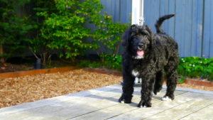 Bernese Mountain Dog Mix Poodle